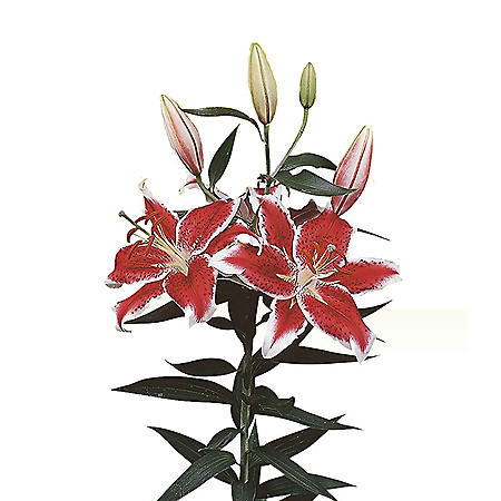 Oriental Trumpet Lily, Starfighter (Choose 40 or 90 stems)