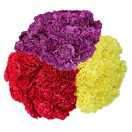 Carnations, Seasonal Colors (75 stems)