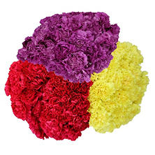 Carnations - Seasonal Colors (75 Stems)