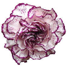 Novelty Purple Bi-color Carnations - 75 Stems