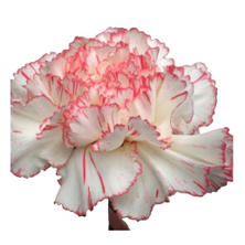Novelty Pink Bi-color Carnations - 75 Stems