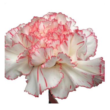 Carnations, Novelty Pink Bi-Color (75 stems)