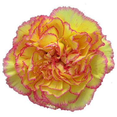 Carnations, Novelty Yellow Bi-Color (75 stems)