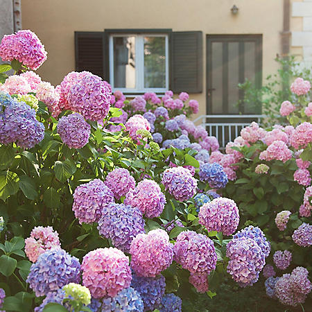 Hydrangea or Lilac Shrubs (2 pk.)