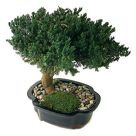 TRIPLE BONSAI NATURALLY PERSERVED