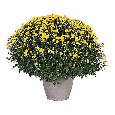 "Large 14"" Garden Mum Planter"
