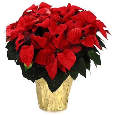 Premium Poinsettia Planter