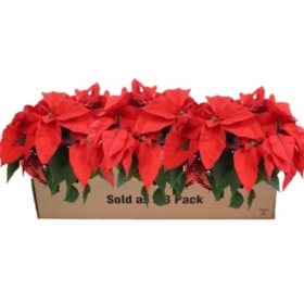 Poinsettia, Red, 3 pack