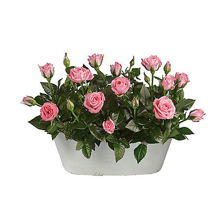 Gift Basket of Pink Roses
