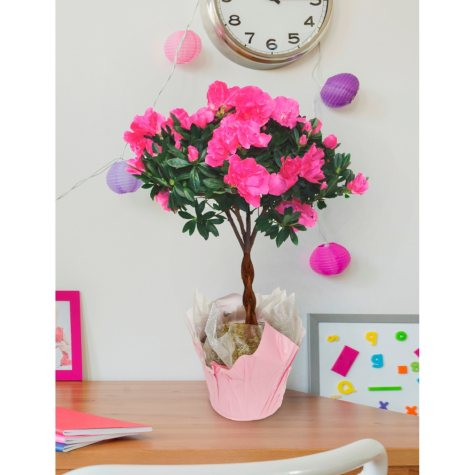 Pink Azalea Tree With Braided Trunk
