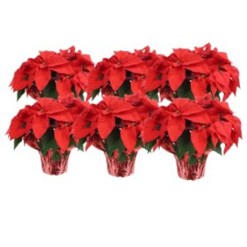 "6"" Red Poinsettias (12 pk.)"