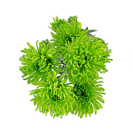 Button Poms, Green (100 stems)