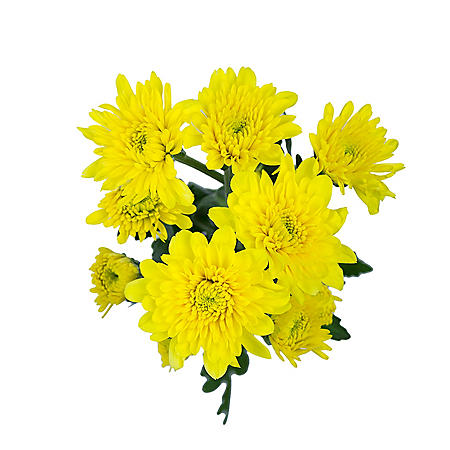 Cushion Pom, Yellow (100 stems)