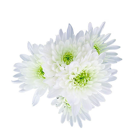 Cushion Pom, White (100 stems)