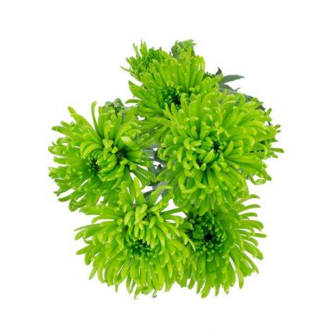 Button Poms, Green (80 stems)