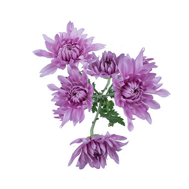 Cushion Poms, Lavender (100 stems)