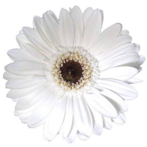 Gerbera Daisies - White - 80 Stems
