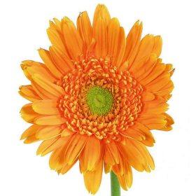 Gerbera Daisies - Orange - 80 Stems