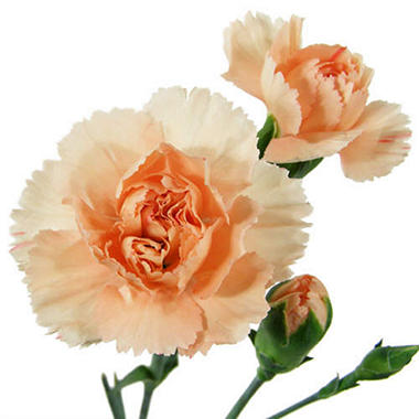 Mini Carnations, Peach (150 stems)