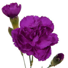 Mini Carnations - Purple - 150 Stems