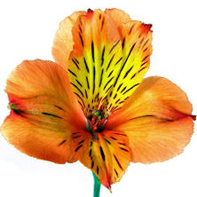 Alstroemeria, Orange (90 stems)