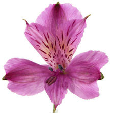 Alstroemeria - Purple - 90 Stems