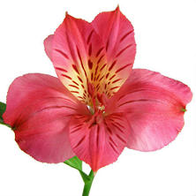 Alstroemeria, Hot Pink (90 stems)