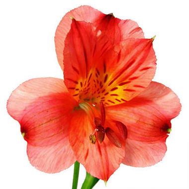 Alstroemeria - Red - 90 Stems