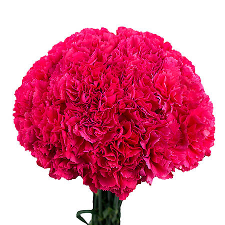 Carnations, Hot Pink (choose 150 or 300 stems)