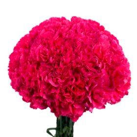 Carnations sams club carnations hot pink choose 150 or 300 stems mightylinksfo