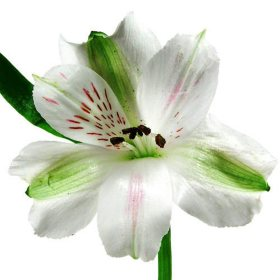 Alstroemeria, White (90 stems)