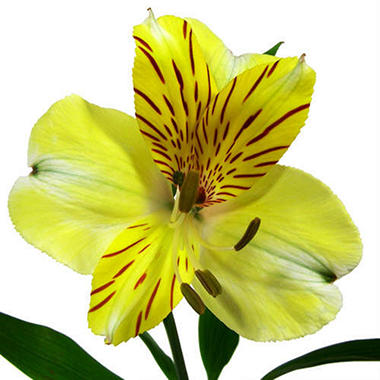 Alstroemeria, Yellow (90 stems)