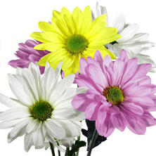 Poms - Assorted Daisy (90 Stems)
