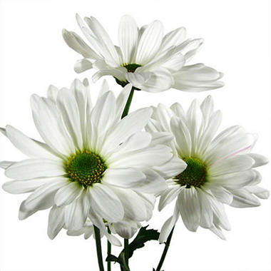 poms  white daisy   stems  sam's club, Beautiful flower