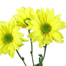 Poms - Yellow Daisy - 90 Stems