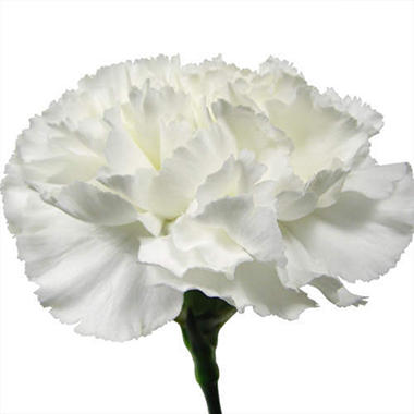 Carnations-White (Choose Stem Count)