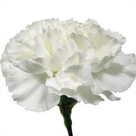 Carnations, White (choose 150 or 300 stems)