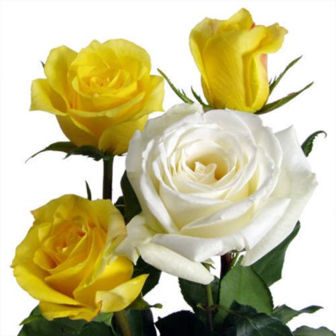 Roses, Yellow and White Combo (100 stems)