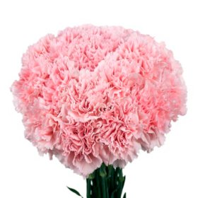 Carnations, Pink (choose 150 or 300 stems)