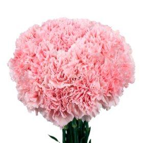 Carnations sams club carnations pink choose 150 or 300 stems mightylinksfo