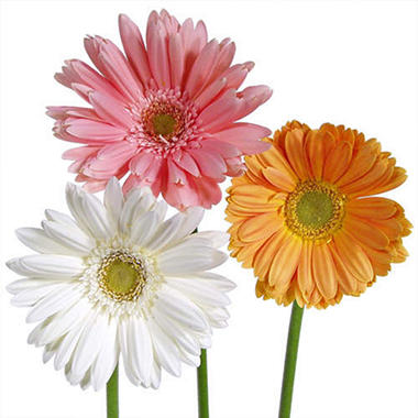 gerbera daisies  assorted soft color   stems  sam's club, Beautiful flower