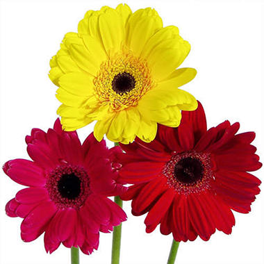 gerbera daisies  assorted hot colors   stems  sam's club, Beautiful flower