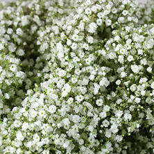 Gypsophila, Million Star (6 bunches)