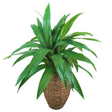 Yucca Palm in Oval Basket with Faux Dirt