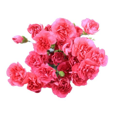 Mini Carnations, Hot Pink (choose stem count)