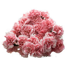Mini Carnations, Pink (choose stem count)