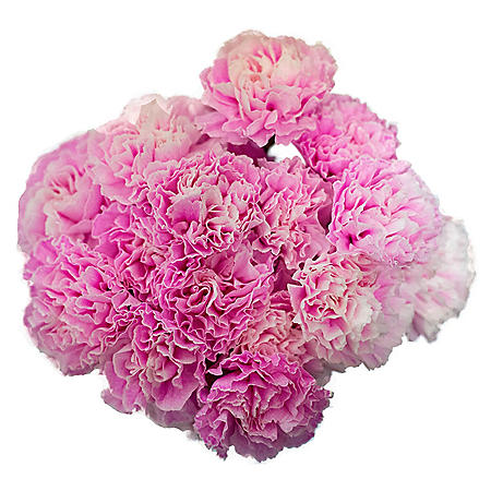 Carnations, Tinted Hot PInk (Choose 175 or 350 stems)