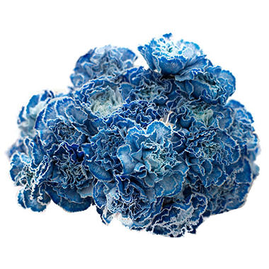 Carnations, Tinted Blue (350 stems)