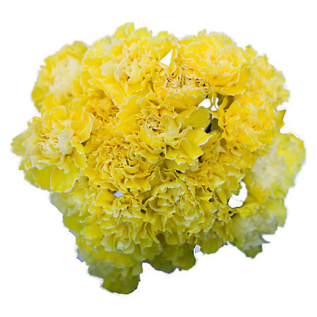 Carnations, Tinted Yellow (Choose 175 or 350 stems)