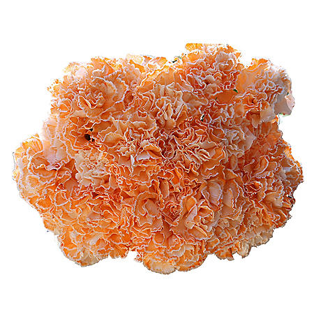 Carnations, Tinted Peach (Choose 175 or 350 stems)